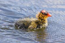 American Coot Chick Swimming In A Lake. Santa Clara County, California, USA.