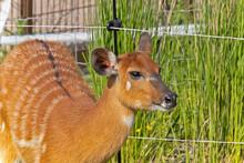 Un Sitatunga Dans Un Parc Animalier