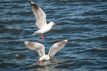 Seagull With Wings Extended Feeding On The Water Surface