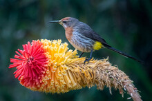 Gurney's Sugarbird Enjoying A Red Hot Poker Flower In The Drakensberg Mountains In South Africa.