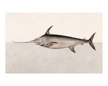 Swordfish Vintage Illustration Wall Art Print And Poster Design Remix From Original Artwork.