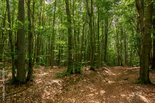 beech forest landscape in summer. beautiful nature outdoor on a sunny day. tall trees in green foliage #438363094