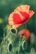 czerwony polny mak w naturalnym środowisku