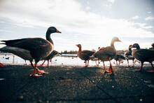Wild Birds On Modern City Pond