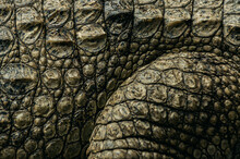 Detailed Of African Crocodile