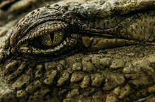 Detailed Eye Of African Crocodile