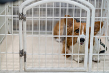 Curious Corgi Dog In Cage In Modern Veterinary Clinic