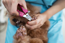 Crop Vet Nurse Clipping Claws Of Small Dog In Modern Clinic