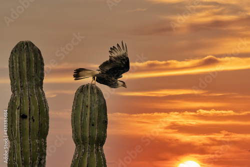 Caracara cheriway crested falcon on cactus at sunset Fotobehang