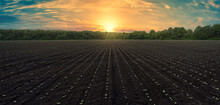 Panoramic Shot Of A Black Field With Even Rows Of Sunflower Shoots At Sunset. Growing Sunflower In Ukraine. Plowed Field With Sunflower Shoots At Sunset: Panoramic Background For Agribusiness.