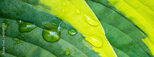 Fotografia Close up of fresh green yellow Plantain lilies Hosta Asparagaceae, with dew wate