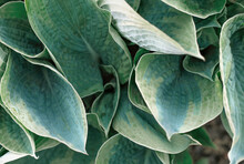 Close Up Of Hosta Plant Leaves Growing In A Garden. Shade Tolerant Flowers For A Backyard.
