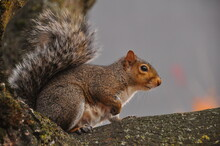 Eastern Gray Squirrel Sitting On A Tree In Portland