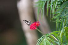 Zebra Heliconian (Heliconius Charithonia) Zebra Heliconian Feeding From A Red Flower With Leaves And Fence Behind