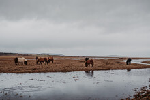 Horses Grazing Next To A River In A Cloudy Icelandic