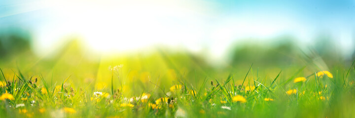 Banner 3:1. Field with yellow dandelions against blue sky and sun beams. Spring background. Soft focus