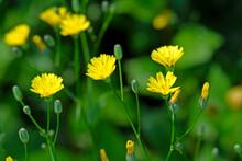 Common Nipplewort // Rainkohl, Gemeiner Rainkohl (Lapsana Communis)