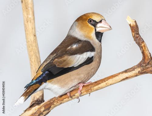 Fototapeta grosbeak, hawfinch