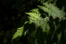A Common Lady-fern In A Forest