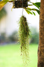 The Spanish Moss Is An Ornamental Plant That Is Commonly Planted In Pots And Hung On High Ground.