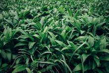 Green Sea Herb Allium Ursinum, Known As Wild Garlic, Wild Cowleek, Ramsons, Buckrams Around The Odra River In Eastern Bohemia In Central Europe. Moist Woodland. Awakening From Hibernation
