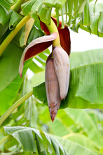 Banana Blossoms Are Popular For Cooking In Thailand.