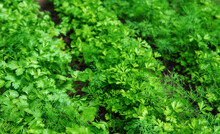 Dill, Parsley And Cilantro Grow In The Garden. Selective Focus.
