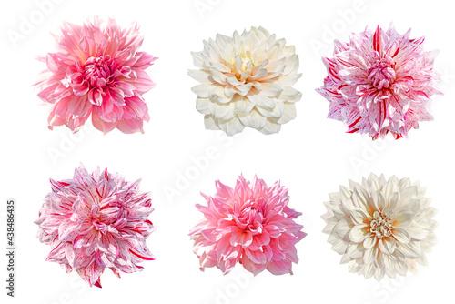 Photo set of dahlia flowers isolated on white