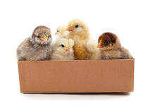 Yellow And Gray Chickens In A Box.
