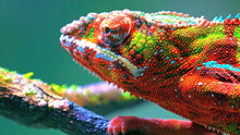 Beautiful  Bright Multi Colored Chameleon Isolated In A Blur Background. Adult Male Ambilobe Panther Chameleon (Furcifer Pardalis)