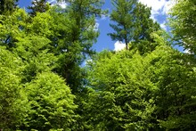 Deciduous Forest View Up To Tree Tops With Light Green Leaves And Blue Sky