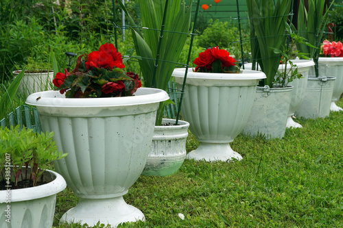 Cuadros en Lienzo row of begonias and gladioli in white buckets and vases