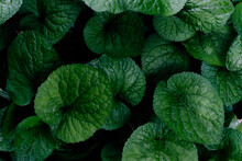 Fresh Green Leaves Of The Host Plant. Natural Background And Wallpaper. Foliage Pattern. Photo.