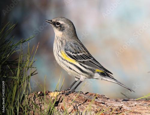 Fotografia Yellow-rumped Warbler