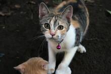 Close-up Photo Of A Cute Javanese Cat