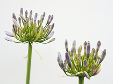 Tokyo,Japan-June 10, 2021: Closeup Of Agapanthus Flowers On White Background