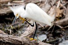 Snowy Egret In A Thoughtful Mood Up Close With Sharp Eyes
