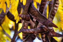 Gleditsia Triacanthos Fruits