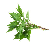 White Mugwort Plant (Artemisia Lactiflora) Isolated On White Background