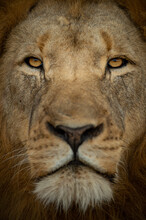 Lion Portrait And Close Up Greater Kruger Park, South Africa