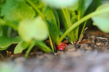 Growing Ripe Radish (Raphanus Raphanistrum) In Fertile Soil. Red Root Vegetable In The Ground.