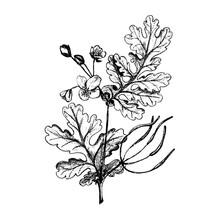 Greater Celandine Hand Drawn Sketch Botanical