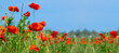 Flower meadow field background banner panorama - Beautiful flowers of poppies poppy Papaver rhoeas in nature, close-up. Natural spring summer landscape with red poppies and blue sky