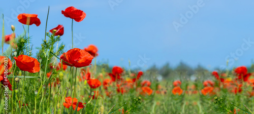 Fotografia Flower meadow field background banner panorama - Beautiful flowers of poppies poppy Papaver rhoeas in nature, close-up