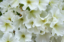 Bush Of Blooming White Petunia On Blurred Background, Close-up. Bright Petunia Flowers Hanging In Summer Garden