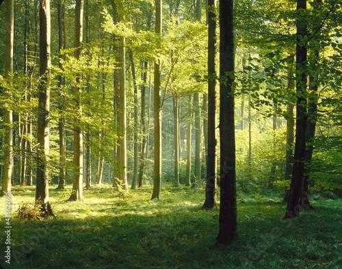 Canvastavla beech forest, summer,