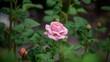 Leinwandbild Motiv Pink Rose