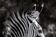 Zebra Head, Mane, Ears And Eye Close-up, Black And White