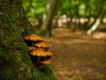 Some Golden Scalycaps Attached To The Base Of A Moss-covered Tree, In A Patch Of Urban Woodland Strewn With Autumnal Leaf Litter In Dappled Sunlight.