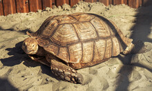 Giant Turtle On The Sand At The Zoo